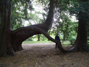 Giant cedar trees that grew together